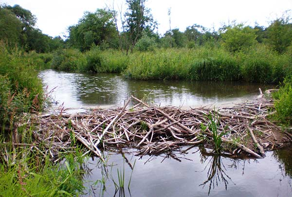 Beaver dam on Smilga